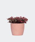 Nerve plant in a pink concrete pot, Plants & Pots