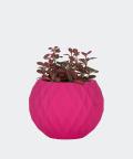 Nerve plant in a pink concrete sphere, Plants & Pots