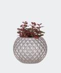 Nerve plant in a silver concrete sphere, Plants & Pots