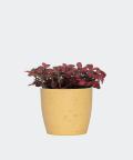 Nerve plant in a yellow concrete pot, Plants & Pots