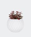 Nerve plant in a white concrete sphere, Plants & Pots