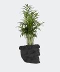 Parlour palm in a black concrete skull, Plants & Pots