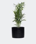 Parlour palm in a black cylindrical pot, Plants & Pots