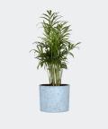 Parlour palm in a blue concrete cylinder, Plants & Pots