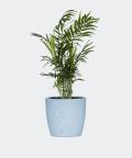 Parlour palm in a blue concrete pot, Plants & Pots