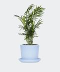 Parlour palm in a blue pot, Plants & Pots