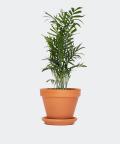 Parlour palm in a brick pot, Plants & Pots