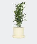 Parlour palm in a cream yellow pot, Plants & Pots