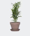 Parlour palm in a gray brick pot, Plants & Pots