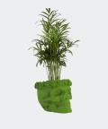 Parlour palm in a green concrete skull, Plants & Pots