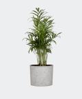 Parlour palm in a grey concrete cylinder, Plants & Pots