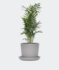 Parlour palm in a grey concrete pot, Plants & Pots