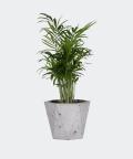 Parlour palm in a grey hex concrete pot, Plants & Pots