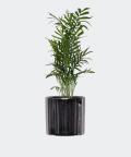 Parlour palm in a mirror pot, Plants & Pots