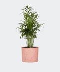 Parlour palm in a pink concrete cylinder, Plants & Pots
