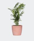 Parlour palm in a pink concrete pot, Plants & Pots