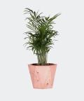 Parlour palm in a pink hex concrete pot, Plants & Pots