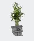 Parlour palm in a steel concrete skull, Plants & Pots