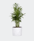 Parlour palm in a white concrete cylinder, Plants & Pots