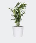 Parlour palm in a white concrete pot, Plants & Pots