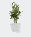 Parlour palm in a white concrete skull, Plants & Pots