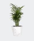 Parlour palm in a white hex concrete pot, Plants & Pots