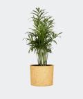 Parlour palm in a yellow concrete cylinder, Plants & Pots
