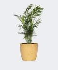 Parlour palm in a yellow concrete pot, Plants & Pots
