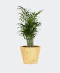 Parlour palm in a yellow hex concrete pot, Plants & Pots