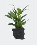 Peace lily in a black concrete skull, Plants & Pots