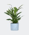 Peace lily in a blue concrete cylinder, Plants & Pots