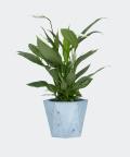 Peace lily in a blue hex concrete pot, Plants & Pots