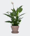 Peace lily in a grey brick pot, Plants & Pots