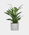 Peace lily in a grey concrete cylinder, Plants & Pots