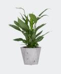 Peace lily in a grey hex concrete pot, Plants & Pots