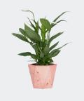 Peace lily in a pink hex concrete pot, Plants & Pots