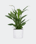 Peace lily in a white concrete cylinder, Plants & Pots