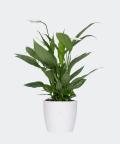Peace lily in a white concrete pot, Plants & Pots