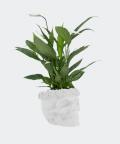 Peace lily in a white concrete skull, Plants & Pots