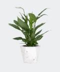 Peace lily in a white hex concrete pot, Plants & Pots