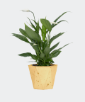 Peace lily in a yellow hex concrete pot, Plants & Pots