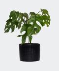 Philodendron Minima in a black concrete cylinder, Plants & Pots