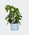 Philodendron Minima in a blue concrete cylinder, Plants & Pots