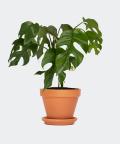 Philodendron Minima in a brick pot, Plants & Pots