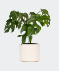 Philodendron Minima in a cream yellow concrete cylinder, Plants & Pots