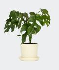 Philodendron Minima in a cream yellow pot, Plants & Pots