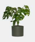 Philodendron Minima in a green concrete cylinder, Plants & Pots