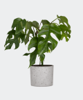 Philodendron Minima in a grey concrete cylinder, Plants & Pots
