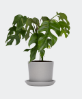 Philodendron Minima in a grey pot, Plants & Pots