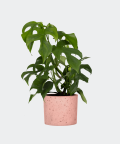 Philodendron Minima in a pink concrete cylinder, Plants & Pots